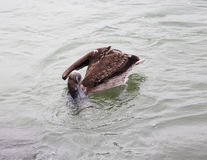 brown pelican hunting for fish in ocean Stock Photography