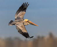 Brown Pelican. An image of a posing brown pelican Stock Photo