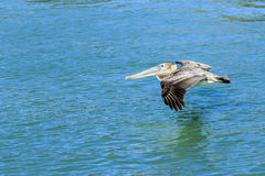 Brown Pelican. This image was captured in Venice, Florida.  The young Brown Pelican was skimming over the water of the intracoastal waterway Royalty Free Stock Photography