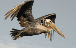 Free Brown Pelican In Flight Stock Images - 25250804