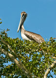 Brown Pelican In Tree Royalty Free Stock Images