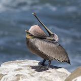 Brown Pelican inverting its pouch as it perches on a rock overlo Royalty Free Stock Image