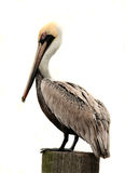 Brown Pelican, Isolated On White Royalty Free Stock Photo