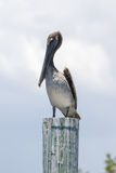 Brown Pelican, J.N. ''Ding'' Darling National Wildlife Refuge, S Stock Images