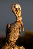 Brown Pelican. Just before sundown getting ready to roost for the night Stock Image
