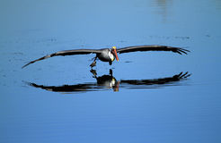 Brown pelican on lake. Brown pelican skimming for fish and reflecting on blue water in wetlands, Huntingdon beach, California, U.S.A Royalty Free Stock Images