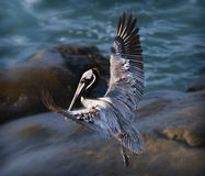 Brown Pelican Landing Royalty Free Stock Images