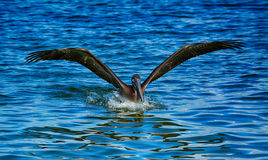 Brown Pelican landing in Florida Royalty Free Stock Photos