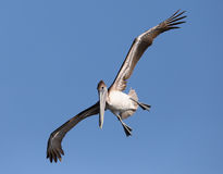 Brown pelican landing Royalty Free Stock Photography