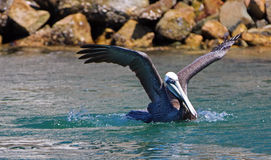 Brown Pelican landing in the water in marina in Cabo San Lucas Baja Mexico Royalty Free Stock Photography