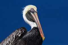 Brown Pelican. A brown pelican (latin Pelecanus occidentalis) against a blue sky Royalty Free Stock Photos