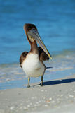 Brown Pelican at Lido Beach Royalty Free Stock Photo