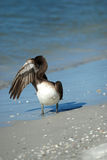 Brown Pelican at Lido Beach. In Sarasota Florida during December stock photography
