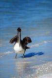 Brown Pelican at Lido Beach. In Sarasota Florida during December royalty free stock photo