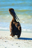 Brown Pelican at Lido Beach. In Sarasota Florida during December stock image