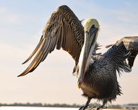 Brown Pelican. Pelican lifting wings as it adjusts for a more comfortable position on a railing along the water in Cedar Key, Florida Royalty Free Stock Photography