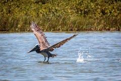 Flying Brown Pelican Port Aransas Texas