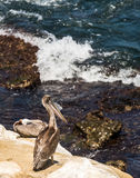 Brown Pelican Bird looking out to sea from the cliffs in La Jolla, California royalty free stock photos