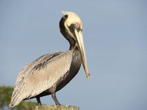 Brown Pelican. Louisiana Staet Bird, Brown Pelican Stock Photography