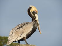 Brown Pelican. Louisiana State Bird, Brown Pelican Stock Image