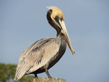 Brown Pelican. Louisiana State Bird, Brown Pelican Royalty Free Stock Photography