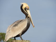 Brown Pelican. Louisiana State Bird, Brown Pelican Royalty Free Stock Photo