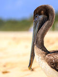 Brown pelican on mexican beach Stock Photo