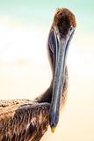 Brown pelican on mexican beach Royalty Free Stock Photos