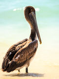 Brown pelican on mexican beach Royalty Free Stock Image