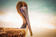 Brown pelican on mexican beach Royalty Free Stock Photo