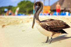 Brown pelican on mexican beach Stock Photography