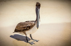 Brown pelican on mexican beach Stock Images