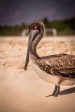 Brown pelican on mexican beach Royalty Free Stock Photography