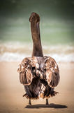 Brown pelican on mexican beach Royalty Free Stock Images