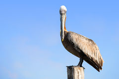 Brown Pelican on mexican Mujeres island Royalty Free Stock Image