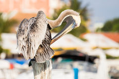 Brown Pelican on mexican Mujeres island Stock Photography