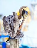 Brown Pelican on mexican Mujeres island Royalty Free Stock Photo
