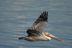 Brown Pelican - Non breeding adult Royalty Free Stock Images