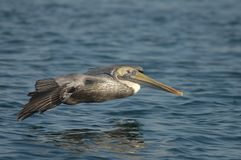 Brown Pelican - Non breeding adult Royalty Free Stock Photo