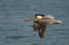 Brown Pelican - Non breeding adult Royalty Free Stock Photos