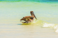 Brown Pelican in the ocean on Galapagos Islands Stock Photography