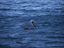 Brown pelican in the ocean Royalty Free Stock Photos