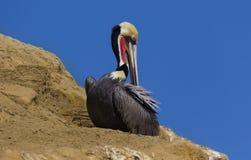 Brown Pelican at the Ocean stock photo