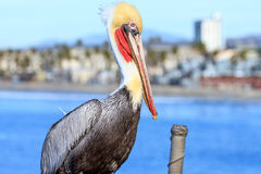 Brown Pelican in Oceanside Royalty Free Stock Photography