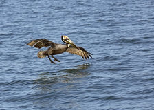 Brown Pelican (Pelecanus occidentails) Royalty Free Stock Images