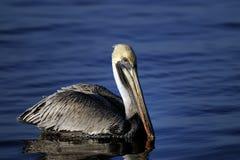 Brown pelican, pelecanus occidentalis. In the evening light Royalty Free Stock Image