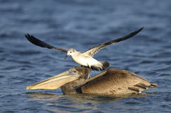 Brown pelican, pelecanus occidentalis Royalty Free Stock Photo