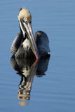 Brown Pelican, Pelecanus occidentalis Stock Photo
