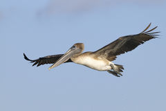 Brown pelican, pelecanus occidentalis Royalty Free Stock Images