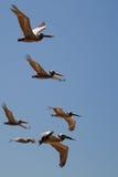 Brown Pelican (Pelecanus occidentalis). In flight Royalty Free Stock Photography